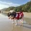เสื้อชูชีพสุนัขแบบแฟนซี : ชุดนีโม thumbnail 10